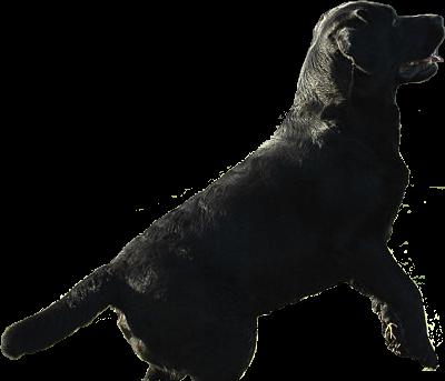 J.W. Verhaag Labradors